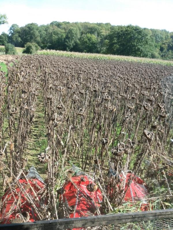 Les champs de tournesols d'Angélique - la récolte des graines pour l'alimentation des chèvres - métier devenir éleveur chèvres
