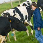 le métier d'éleveur bovin