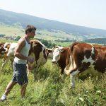 comment devenir éleveur bovin lait