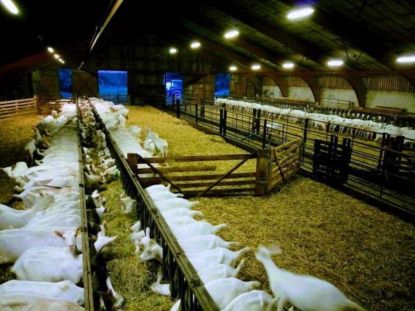 Les chèvres de Virginie et Germain dans leur bâtiment, sur une litière de paille - métier devenir éleveur caprin saanen