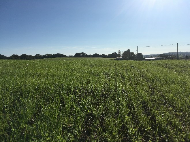 la nouvelle prairie semée par Marion en septembre, éleveuse de moutons ovins