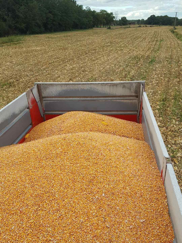 En septembre Mathieu, éleveur correspondant pour Devenir Eleveur, a récolté le maïs et l'a séché