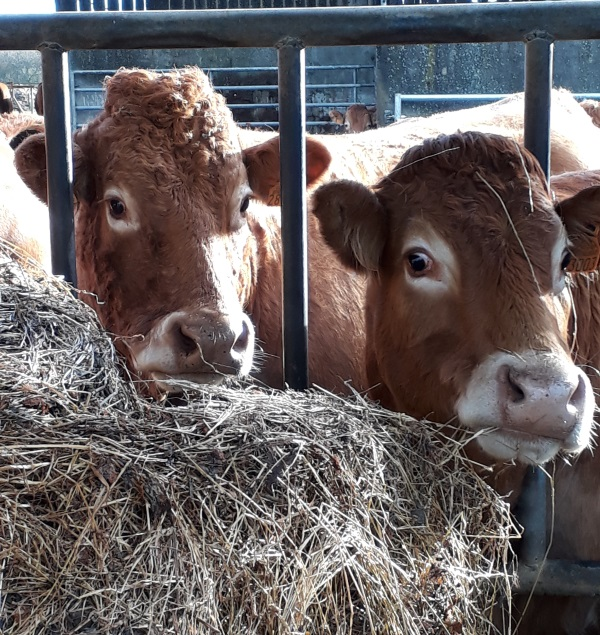 vaches foin hiver batiment