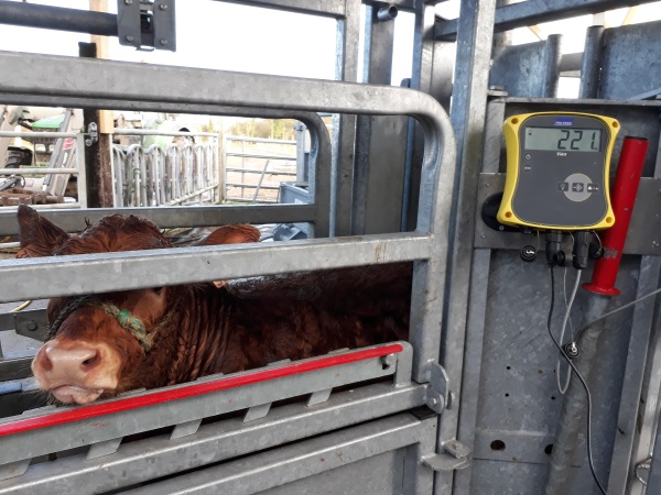 Pendant l'hiver, Adeline, éleveuse de vaches limousines, pratique des soins aux animaux et pèse les veaux