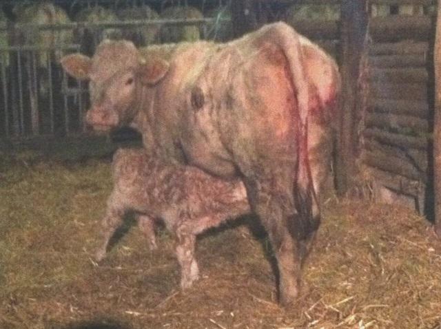 En décembre Matthieu leveur de vaches charolaises a eu de nombreuses naissances de petits veaux. Métier, passion, éleveur allaitant