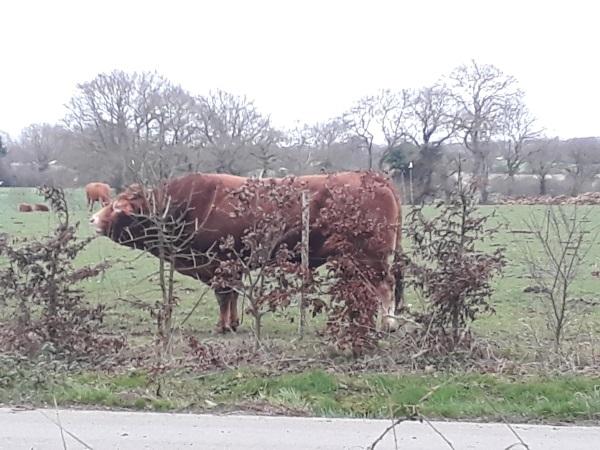 Les taureaux sont en ce moment avec les vaches pour les saillies chez Adeline, éleveuse de limousines. Métier d'éleveur