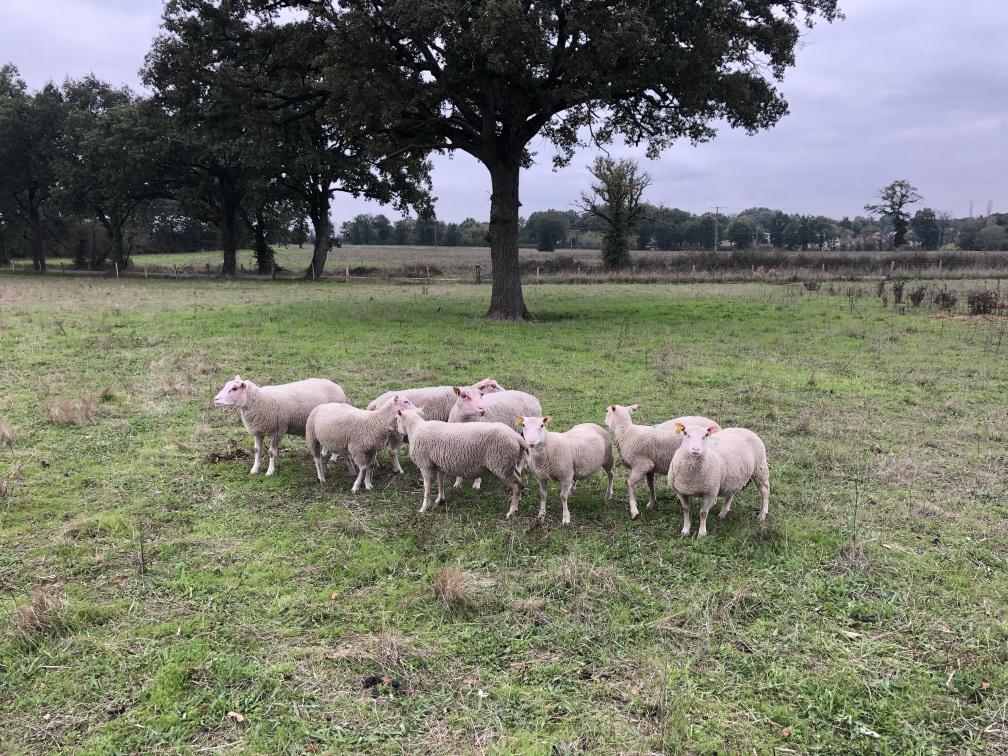 des brebis qui pâturent en France
